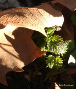 Survival Brennessel im Frühjahr Februar-imp