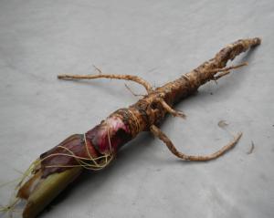 Kräuterseminare Herbstkräuter Wurzel