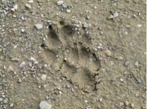 Hundespur Trittsiegel Spurenlesen