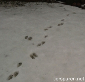 Tierspur im Schnee