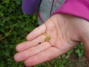 Kinder-Kräuter-Tag: Kind zeigt Samen und Sprossen
